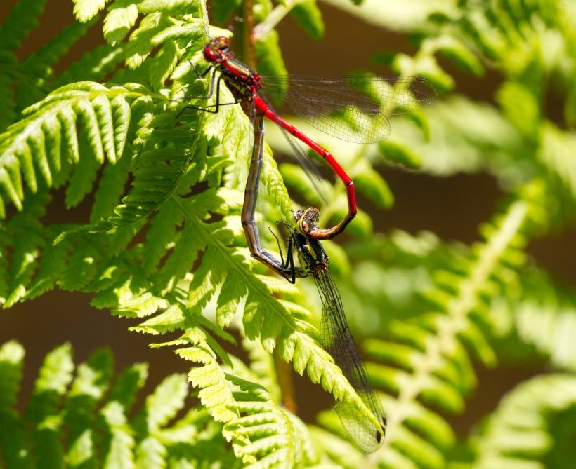 Donceliña vermella_Pyrrhosoma nymphula_5