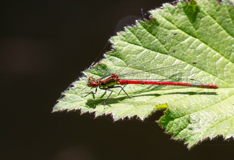Donceliña vermella_Pyrrhosoma nymphula_7